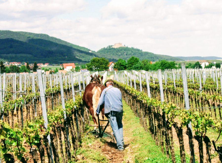 Die Pfalz – wo Witz wie Wein wächst